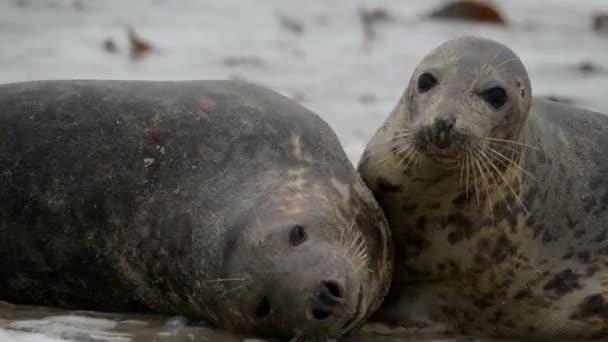 Grey seals during mating ritual 11240