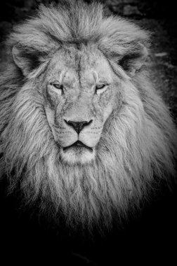 Dangerous lion b&w