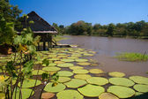 Photo Giant lillies in the Amazonas, Colombia