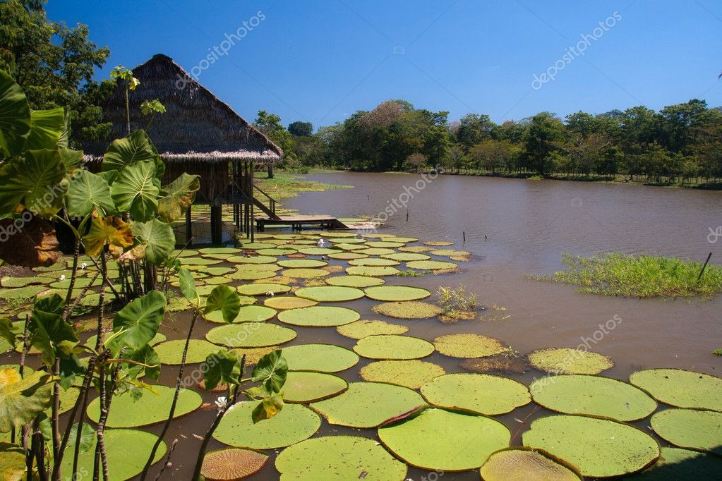Giant lillies in the Amazonas, Colombia