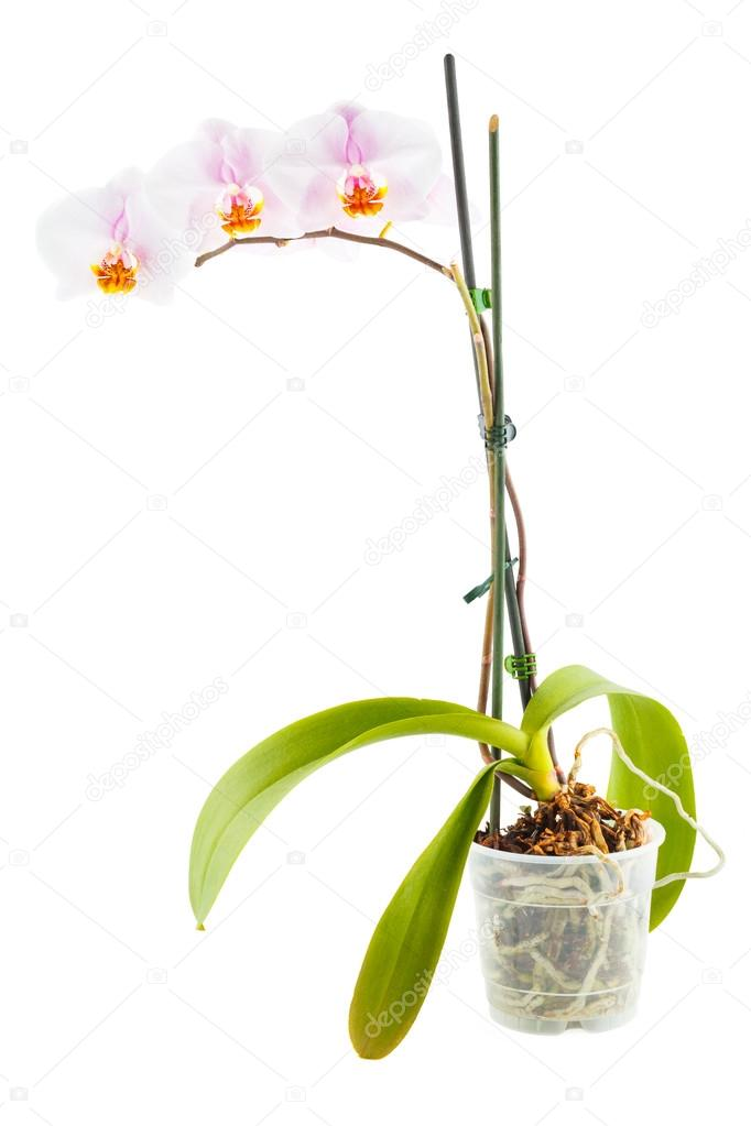 White Orchid. Room flower in transparent flowerpot