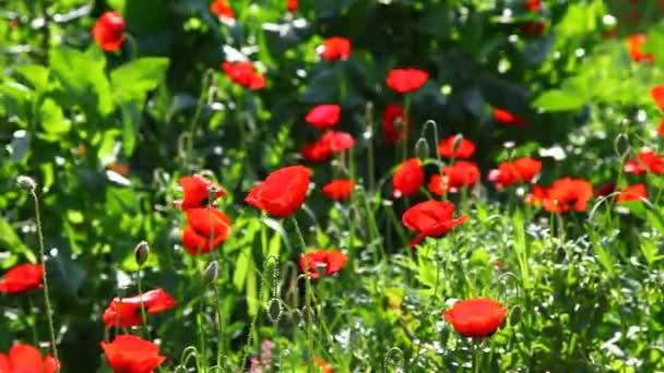 divoký mák a další květiny
