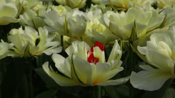 mutantní barevný Tulipán červené a bílé květiny
