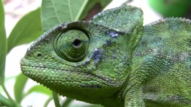 Common Chameleon lizard