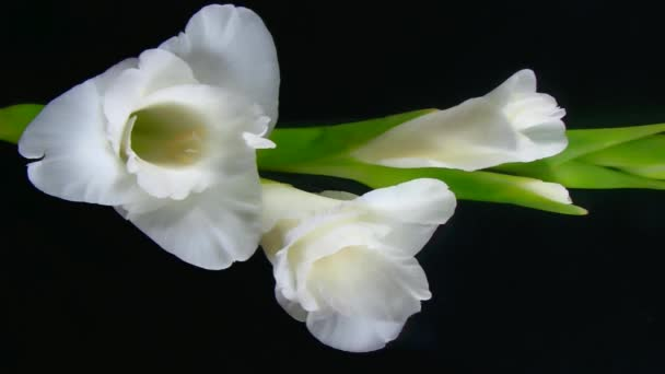 White Gladiole growing at night, the sword lily flower timelapse