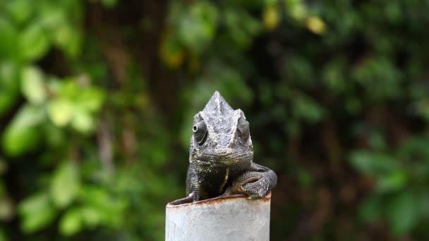 Common Chameleon - Chamaeleo chamaeleon, lizard