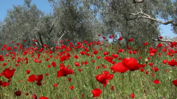 Wild Poppy and olive trees