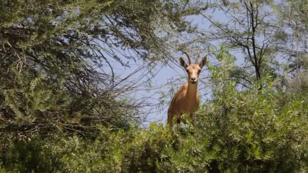 núbijské capra ibex poblíž vodních zdrojů