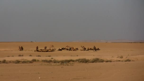 Camels and sheep in the desert