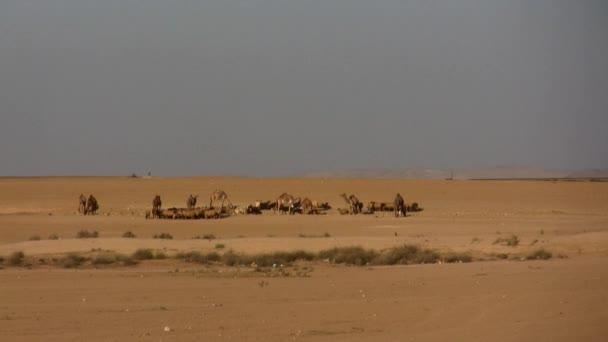 velbloudi a ovce v poušti
