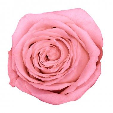 Up shot of beautiful pink rose