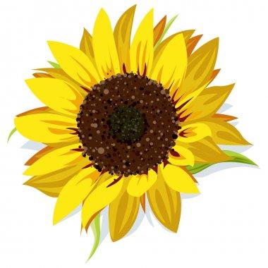 Sunflower vector isolated on white background stock vector