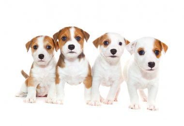 Puppies 2 months old, sitting in front of white background