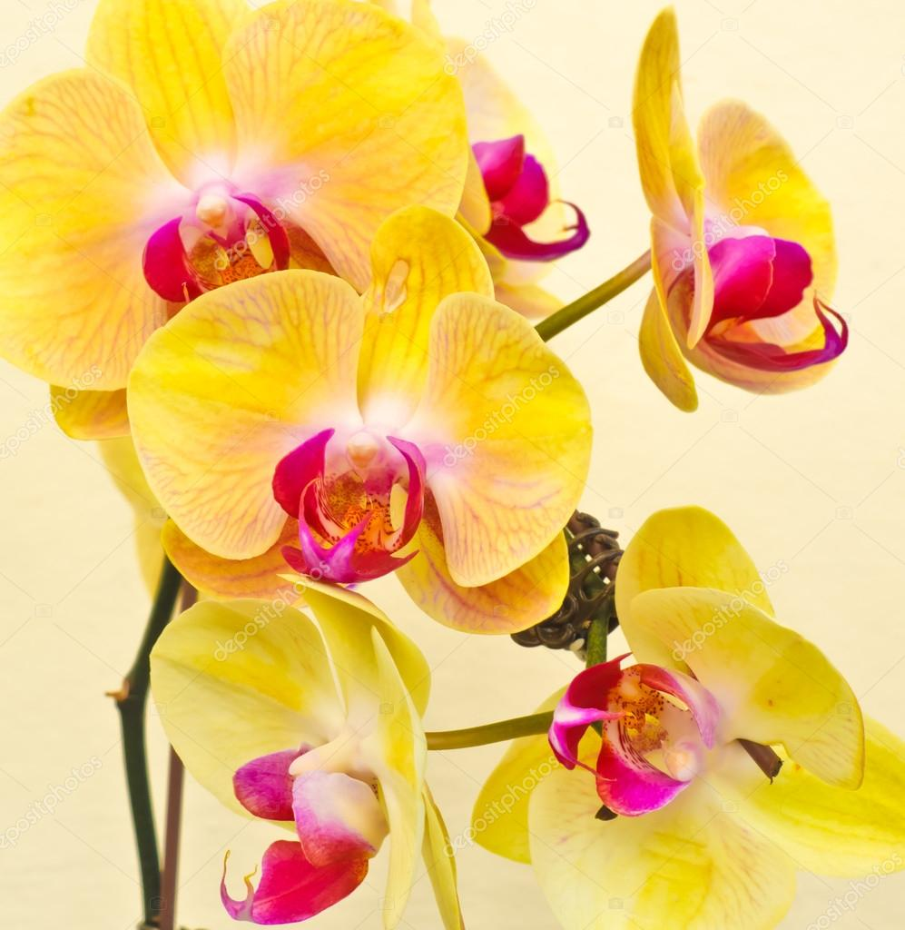 Purple, white, yellow orchid