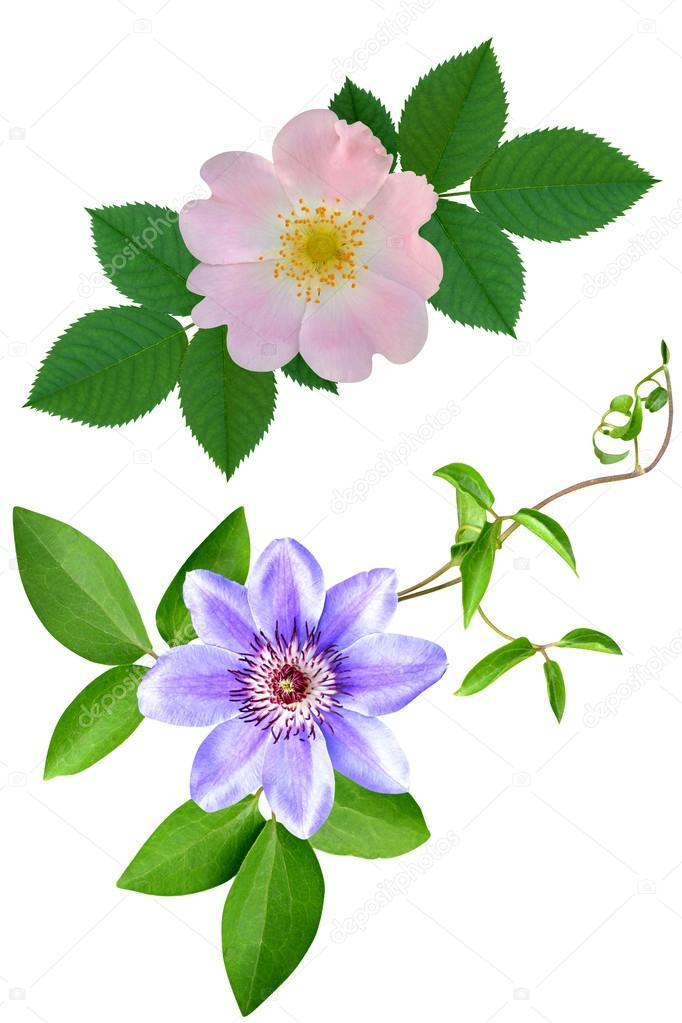 Dogrose of a rose of clematis flowers it is isolated a holiday