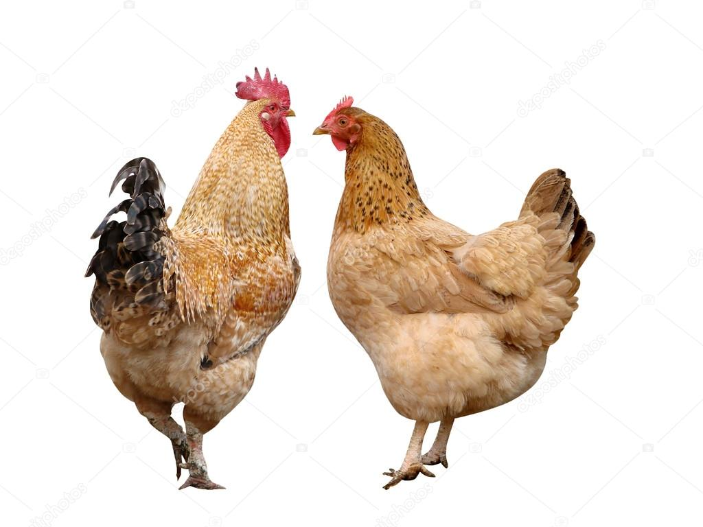 Cock and hen it is isolated birds