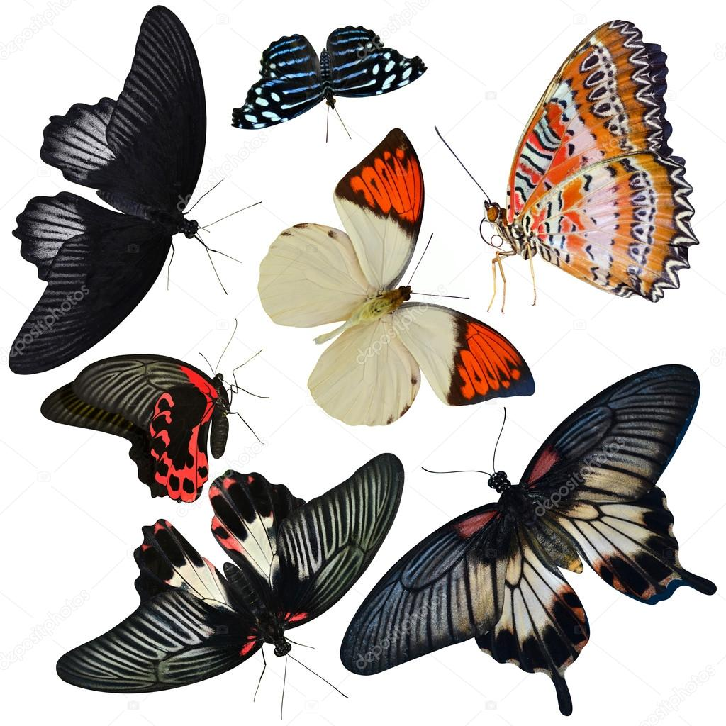 insect collection of butterflies