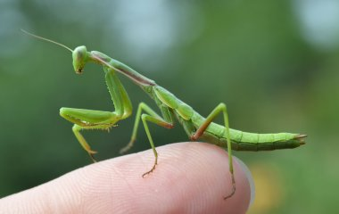 Mantis insect