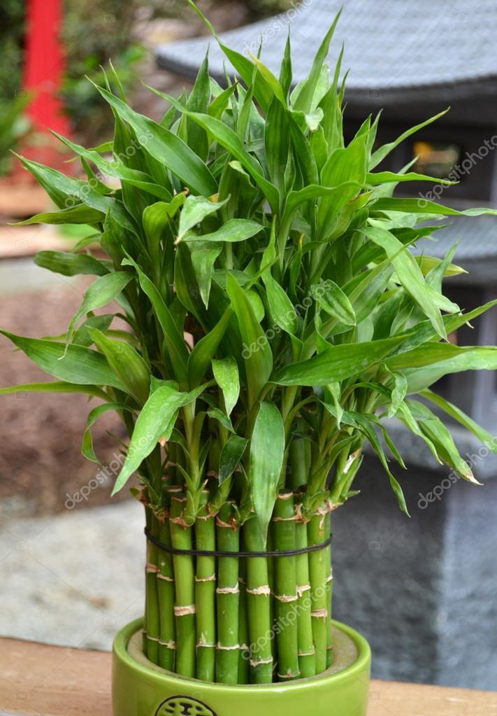 Planta de bamb en maceta fotos de stock weter777 - Bambu cuidados en maceta ...