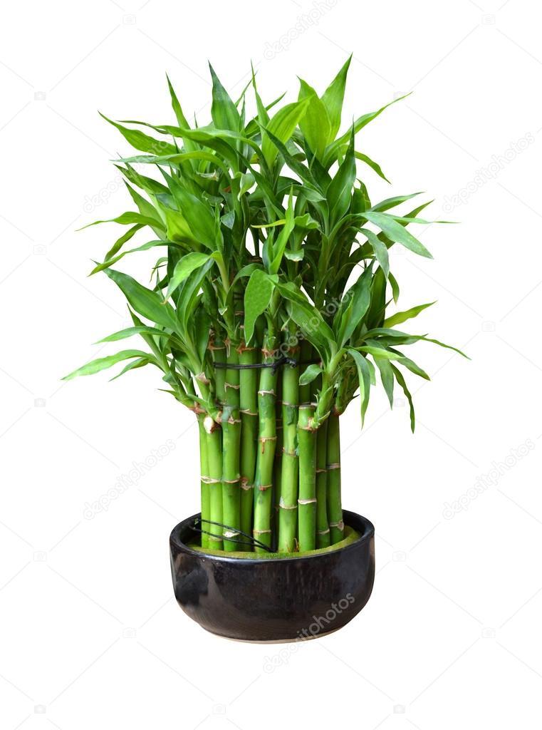Bambus Im Topf Stockfoto C Weter777 41048913