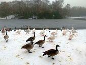 Fotografie Kanadagänse und Schwäne in Heaton Park, Manchester. UK