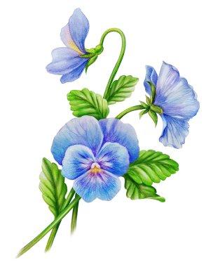 Blue viola flowers
