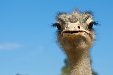 close-up portrait of big curious ostrich on blue sky background. focus on b