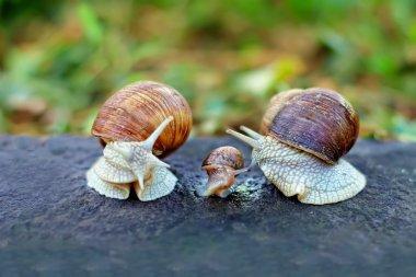 Snail family analogy