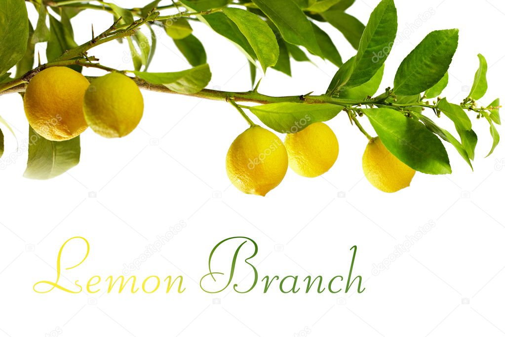 branch with fresh ripe lemon fruits, isolated on white