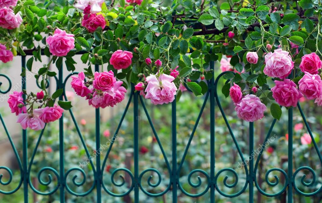 Pink climbing rose with dew on blue forged fence in summer garden
