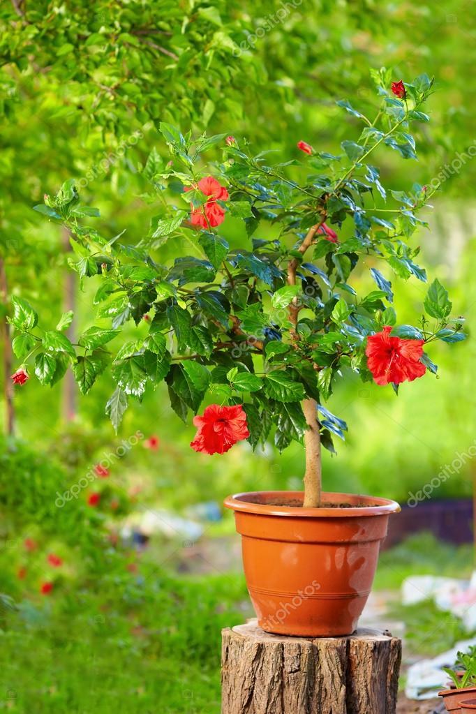hibiscus en pot plante sur fond coloré, dans le jardin ...