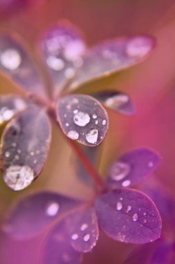 Dew drops on the leaves of plants macro