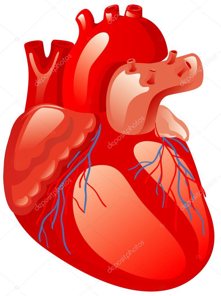 corazón humano — Vector de stock © ashusha #13977661