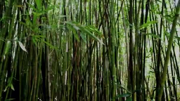 Pan lesní bambus