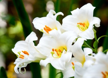 White Easter Lily flowers in a garden, shallow DOF stock vector