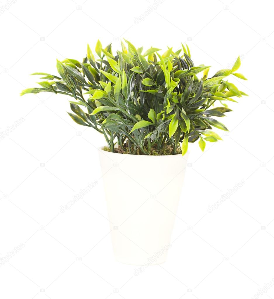 Decorative plant in the pot isolated on white background
