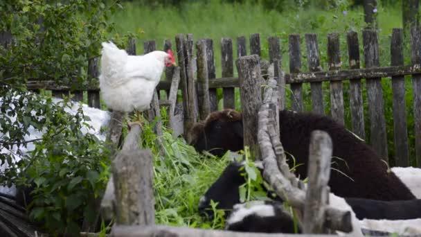 Huhn beobachtet Schafe beim Essen
