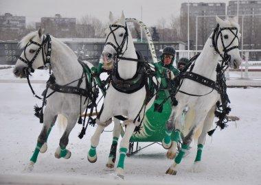Russian troika harness horses