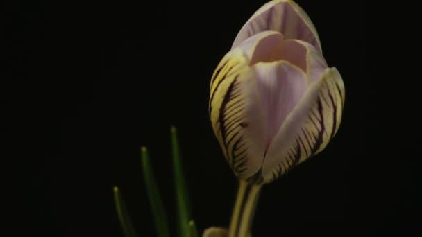 snowdrop crocus saffron Galanthus blossom time lapse