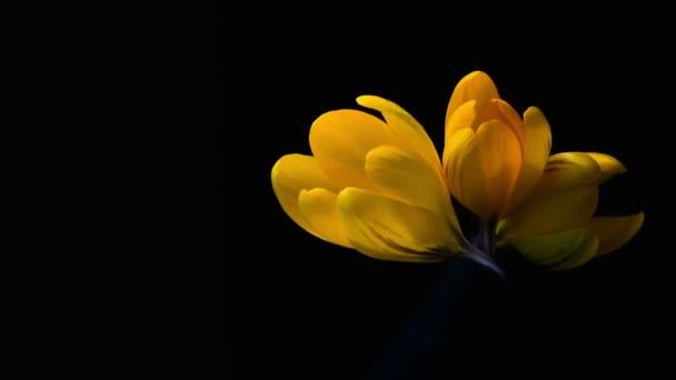 žluté krokusy kvetou. časová prodleva v studio