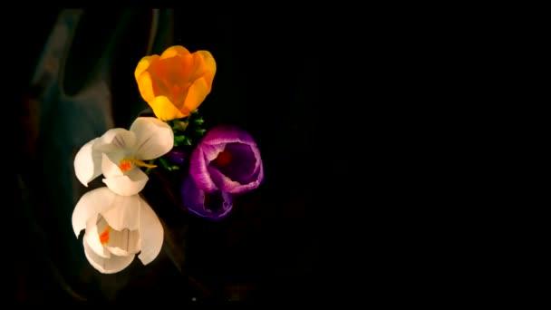 virág csokor, lila, fehér, sárga krókuszok virágzik. idő telik el