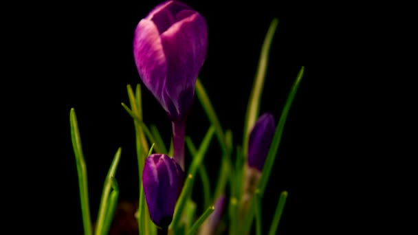 kvete, purpurové krokusy. Jarní probuzení