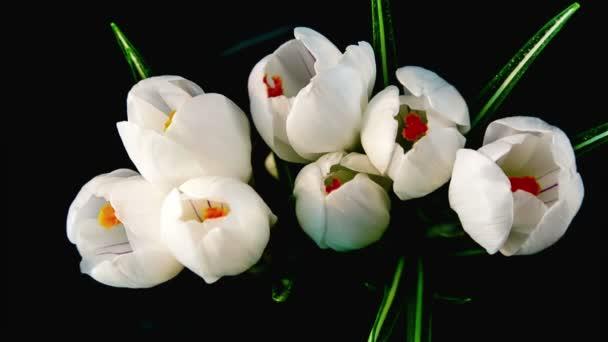 bílý květ crocus