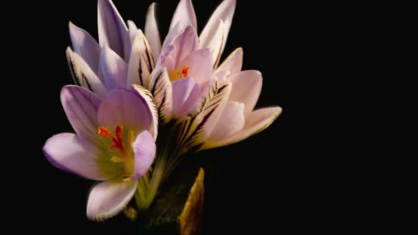 Flowers, purple crocuses bloom. Spring awakening. Format Cinema