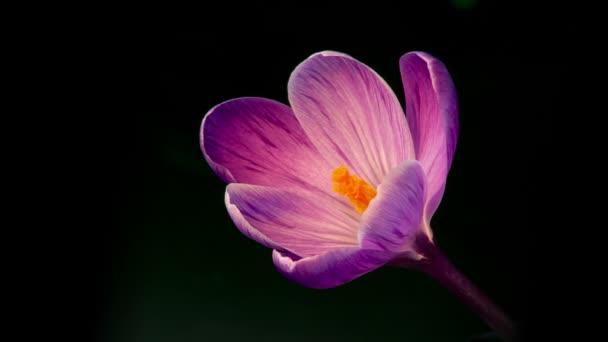 květiny, květ fialový krokusy