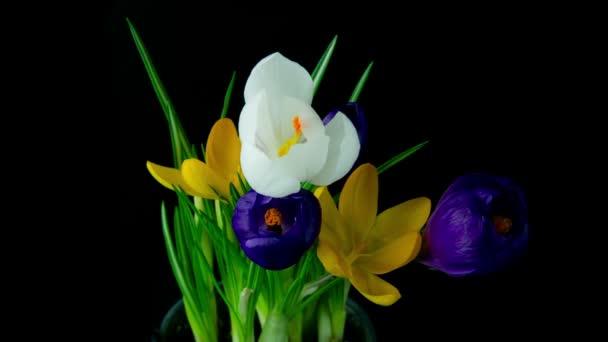 kvetou květiny kytice, fialové, bílé žluté krokusy.