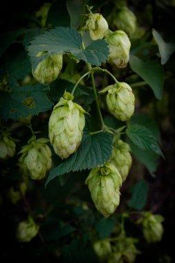 hops, beer