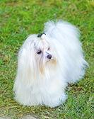 Maltské pes