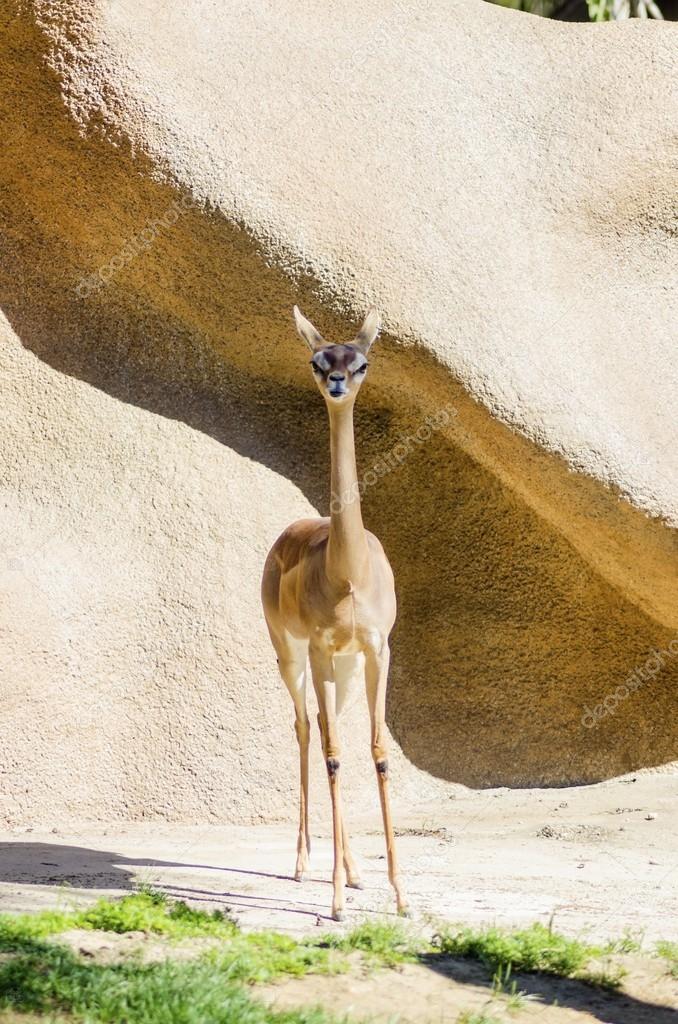 скачать фото длинной газели