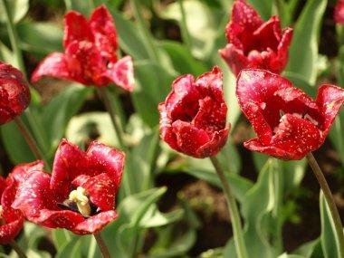 World of tulips.